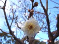 初詣201105白梅.jpg