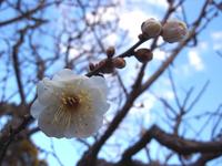 初詣201106白梅.jpg